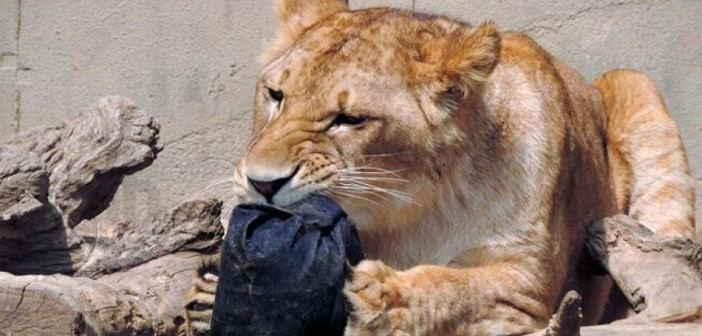 Lion-ripped jeans
